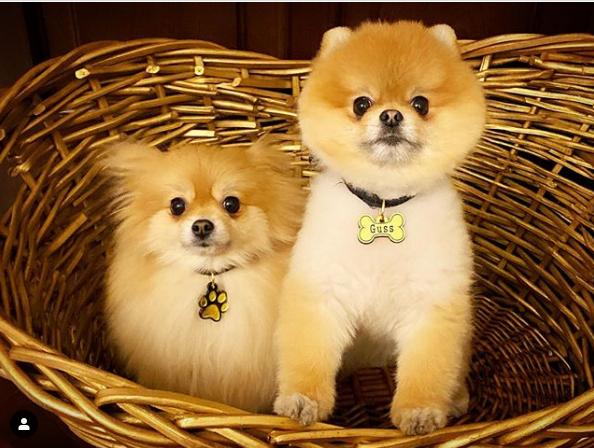 نژاد های مناسب سگ در آپارتمان | پامرانیان