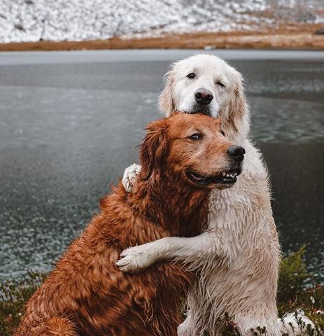 بهترین سگ های آپارتمانی | گلدن رتریور